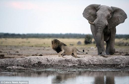 """Nhiều người sau khi chứng kiến sự việc qua hình ảnh đã nhận xét hài hước rằng """"hình như chú sư tử đang ngắm cá vàng dưới nước"""", hoặc """"bá đạo"""" hơn là """"sợ vợ đánh vì trót gây ra lỗi lầm""""."""