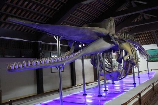 Bộ cốt cá nhà táng khổng lồ ở Vạn Thạnh An.