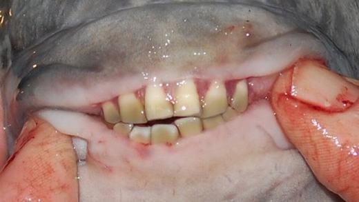 Cá Pacu, loài cá nổi tiếng bởi hàm răng giống hệt con người và sở thích kì lạ là cắntinh hoàn của đàn ông.