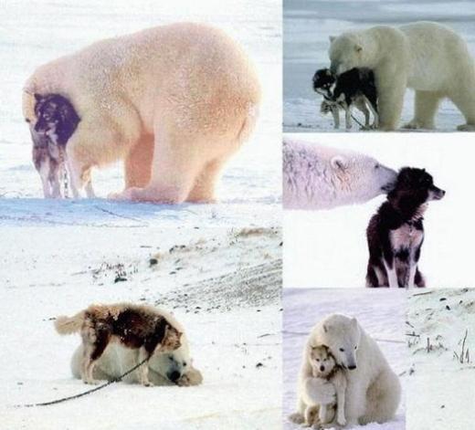 """Tình bạn thân """"hoạn nạn có nhau"""" giữa chú gấu Bắc Cực và chú chó sói"""