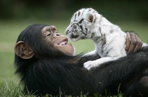 """""""Màn đấu vật 'tình thương mến thương' giữa tinh tinh và con hổ trắng"""""""