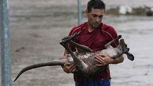 Người đàn ông bế một chú kangaroo ra khỏi dòng nước lũ ở Ipswich.