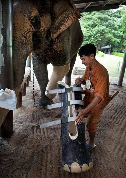 Chú voi ở Thái Lan được lắp chân giả sau khi bị tai nạn phải mất đi một cái chân.
