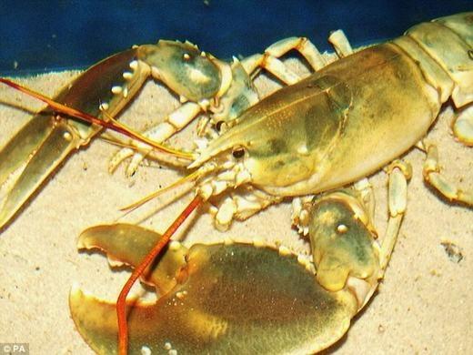 Cách đây ít ngày, một ngư dân có tên Eddie Dougal đã tìm thấy một chú tôm hùm có màu của vàng ròng trên bờ biển Scotland, khu vực gần thị trấn Dunbar. Con tôm khiến các nhà khoa học ngạc nhiên bởi tỉ lệ xuất hiện của nó là 1/5 triệu, tức 5 triệu con mới có một con. Hiện động vật siêu quý hiếm này đang chuẩn bị được trưng bày tại công viên thủy sinh Thế giới Biển sâu ở hạt Fife.