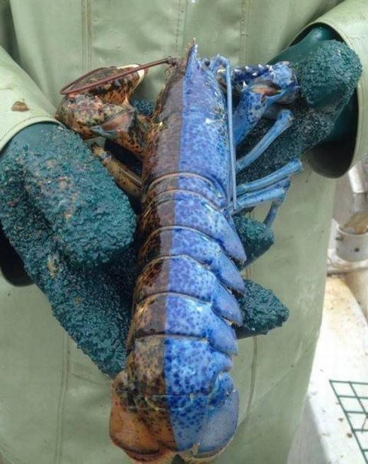 Thêm một con tôm hai màu riêng biệt là nâu đỏ và xanh dương. Con tôm được phát hiện tại vịnh Felix, đảo Newfoundland, Canada.Tỉ lệ xuất hiện của nó là 1/50 triệu.