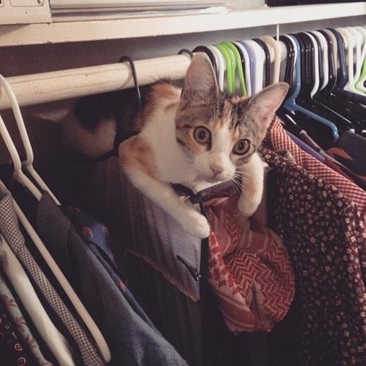 Đôi lúc các em mèo còn kiêm luôn công việc quản lý quần áo.