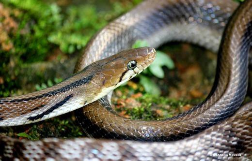 Ớn lạnh cảnh rắn tấn công, nuốt chửng đồng loại trong tích tắc
