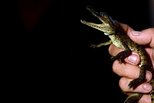 Những chú cá sấu con được ấp và nở với sự trợ giúp của công nghệ hiện đại. Chú cá sấu con này mới 10 ngày tuổi mà thôi!