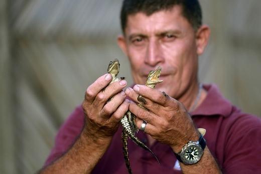 Hai con cá sấu trên tay ông Jose Villeda, hiện là nhân viên khu bảo tồn Barra de Santiago.