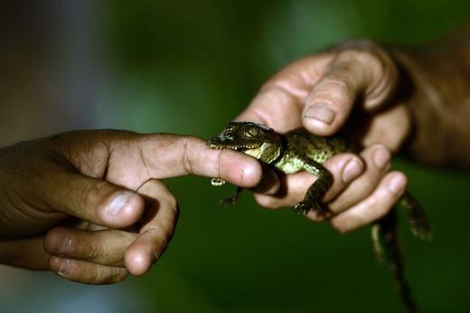 Chúng được chăm sóc hết sức kĩ càng từ khâu ấp trứng. Bạn có thấy rằng chú cá sấu con này cực kì dễ thương không? Nhưng lớn lên, nó sẽ là một sát thủ đáng sợ đấy!