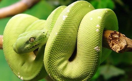 Một chú rắn lục ở Snake Farm.