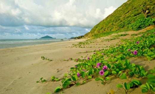Hoa muống biển điểm xuyết vào bức tranh thiên nhiên Côn Đảo.