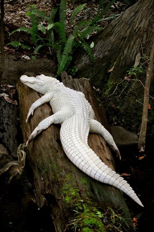 Màu da trắng khiến cho chú cá sấu nhìn như một loại động vật quý hiếm.