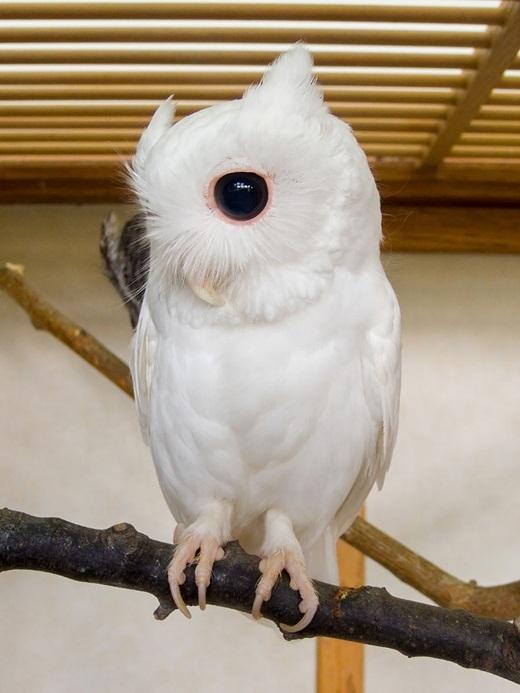 Căn bệnh bạch tạng đã khiến bộ lông của chú vẹt này trắng toát.