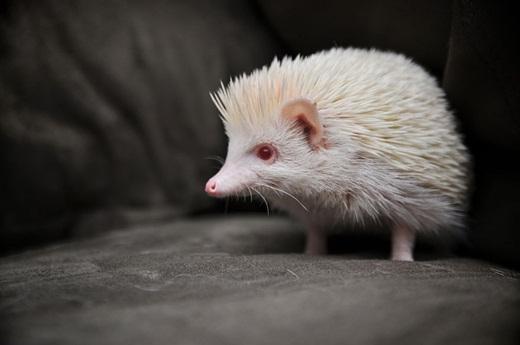 Chú nhím nhỏ trông thật đáng yêu với bộ lông màu trắng.