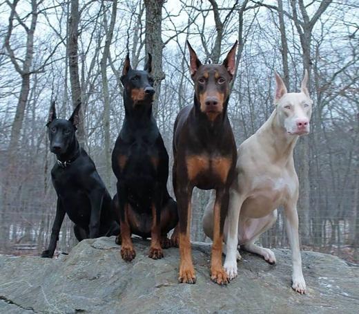 Một chú chó giống Doberman bị bạch tạng bên cạnh những chú chó cùng bầy.