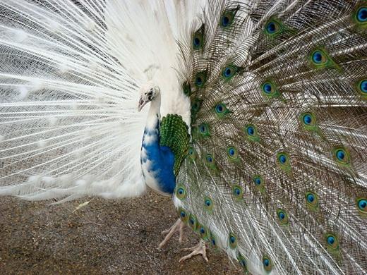 Thay vì có bộ lông sặc sỡ như những chú công bình thường, thì chú chim công này lại có một phần chiếc đuôi màu trắng.