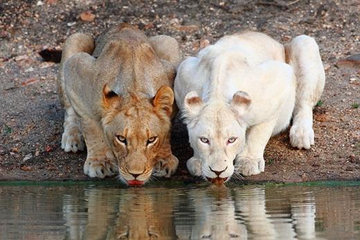 Khi đứng kế bên chú sư tử bình thường thì chú sư tử trắng này trở nên thật khác biệt và độc đáo.