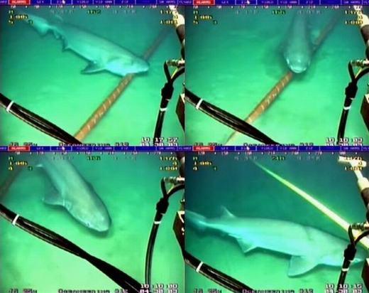 """Cá mập được """"minh oan"""" vụ cắn cáp quang biển"""