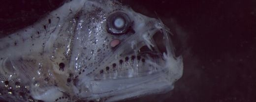 Kinh hãi với loài cá siêu lạ có khuôn mặt của quỷ dữ