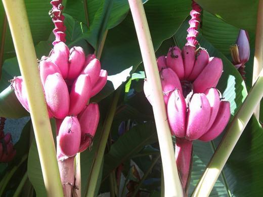Mê mẩn trước cây chuối ra quả tím hồng lạ mắt