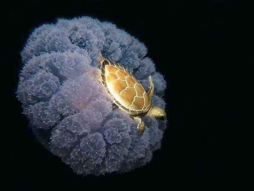 Một chú rùa vàng nằm gọn trong lòng chú sứa biển.
