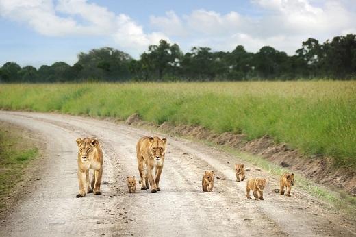 Một gia đình sư tử ở Maasai Mara.