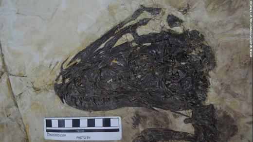 Phần đầu loài khủng long này đang có những tiến hóa để trở thành chim, và có những biến đổi mạnh mẽ, khá giống đầu của một con đại bàng hiện đại.