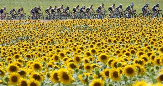 Các tay đua đi vòng qua cánh đồng hoa hướng dương trên đường đua lẫy lừng Tour de France, hướng từ Muret đến Rodez.