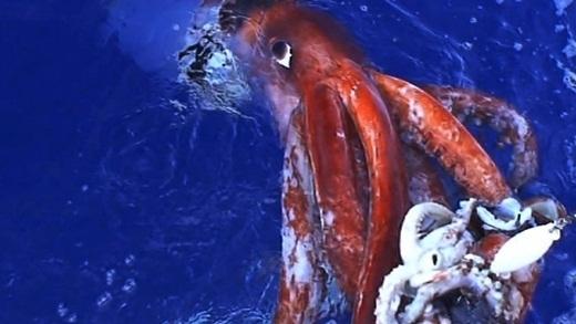 Nếu có gì có thể so sánh với thủy quái Karen trong tuyền thuyết thì đó chính là loài mực khổng lồ với cân nặng lên đến hơn 400 kí và dài hơn 13 mét. Có một đoạn phim về sinh vật kì bí này được công bố vào năm 2012, từ đó về sau, người ta hiếm khi thấy loài mực này xuất hiện thêm một lần nào nữa.