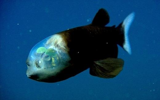 Con mắt của loài cá mắt trống có thể quay 360 độ. Nhờ đó, chúng có thể nhìn xuyên cái đầu trong suốt của mình để quan sát và tìm kiếm thức ăn. Chúng thường sống ở những vùng biển mà mặt trời khó có thể chiếu đến.