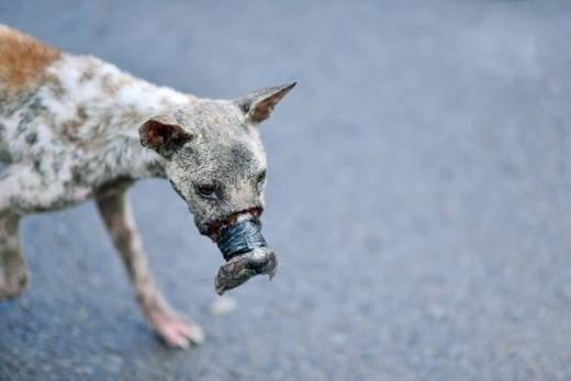 Khẩn thiết kêu gọi cứu giúp chú chó bị buộc mõm ở Bến Tre
