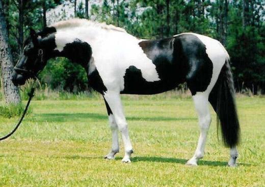 """Còn đây là ngựa Pinto, nổi tiếngvới bộ lông khoang đen trắng ấn tượng và """"độc quyền"""" trên thế giới."""