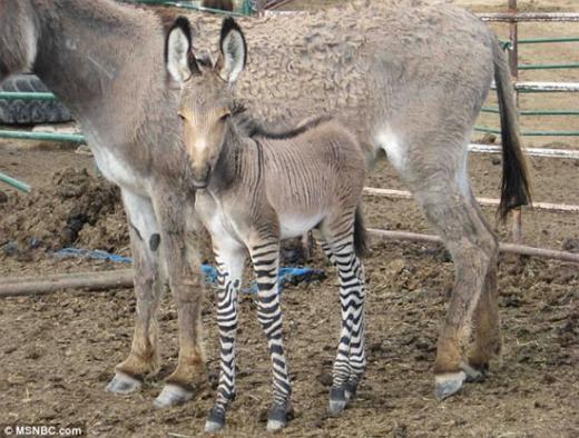 Và đây là con lai giữa ngựa vằn đực và lừa cái quý hiếm. Nó có cơ thể với phần chân là ngựa nhưng nhìn tổng thể lại mang dáng dấp của một chú lừa.