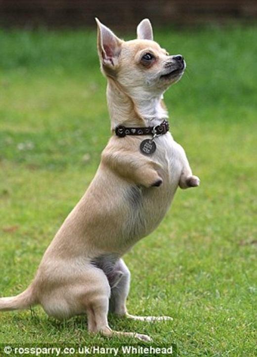 Tan chảy với chú chó cụt hai chân thích nhảy nhót như chuột túi