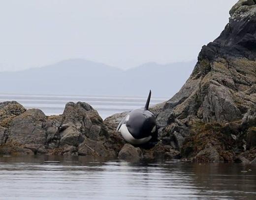 Hồi hộp với màn giải cứu chú cá voi mắc cạn ngoạn mục
