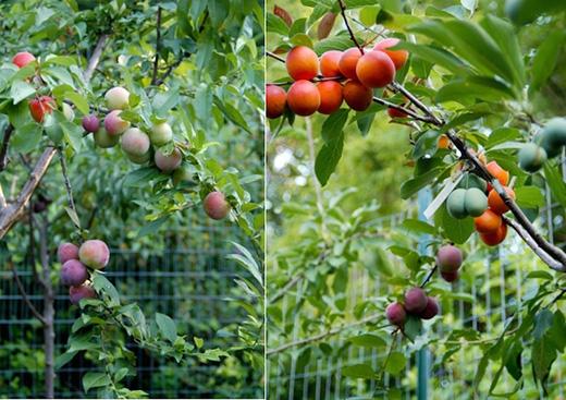 Kì lạ giống cây cho ra 40 loại quả khác nhau