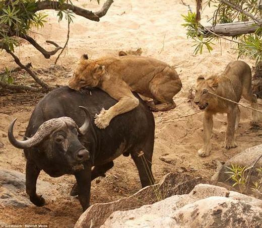 """Con trâu không hề nao núng, nó biết nó đang ở đâu và tìm cách thủ thế. """"Con trâu quả thực đã rất dũng cảm khi chống lại đàn sư tử háu đói"""", Serrao cho biết."""