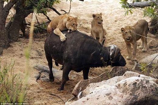 """Cuối cùng, trâu rừng đã nhảy xuống suối và bơi đi. """"Tôi chưa bao giờ thấy một trận chiến không cân sức mà kẻ thắng lại là kẻ yếu hơn như thế, nhất là khi đàn sư tử đang trong tình trạng rất đói"""", Serrao nói thêm."""