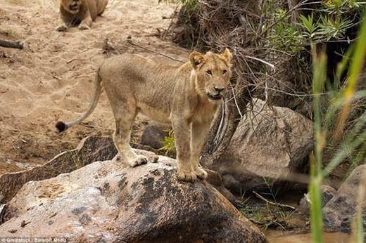 """Những con sư tử đành phải bỏ đi với cái bụng đói meo và thậm chí là """"thiệt hại về quân số""""."""