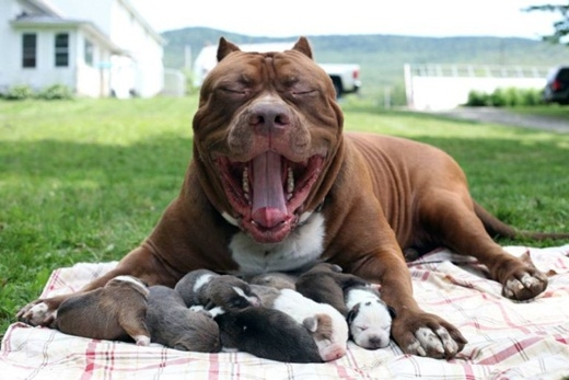 Những hậu duệ đáng giá của chú chó Pitbull lớn nhất thế giới
