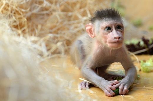Chú khỉ mặt chó Tây Phi tên Pinto đang chơi đùa ở vườn thú Munich, Đức. Pinto ra đời vào ngày 24/6/2015, và là đứa con thứ 3 của cô khỉ 10 tuổi Kaduna.