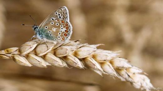 Chú bướm nhỏ đậu trên cọng lúa mạch.