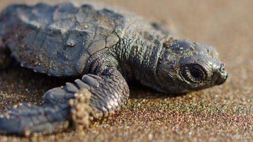 Còn đây là loài rùa Olive Ridley trên bãi biển Ostional Beach, Costa Rica.