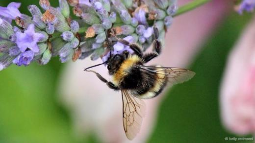 Thêm một chú ong chăm chỉ kiếm mật.