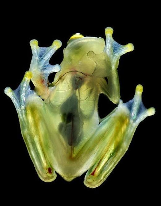 Một chú cá và chú ếch trong suốt, có thể nhìn rõ cả nội tạng bên trong.