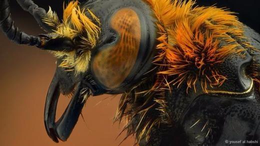 Cận cảnh vẻ mặt hung tợn của một chú ong lỗ.