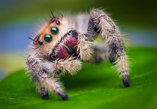 """Đây là loài động vật có tên là nhện nhảy. Bên cạnh khuôn mặt sặc sỡ và những chiếc chân đầy lông, nhện nhảy còn có bộ """"ria mép"""" che phủ mặt. Và như cái tên của nó, chúng săn mồi bằng cách nhảy nhanh thoăn thoắt."""