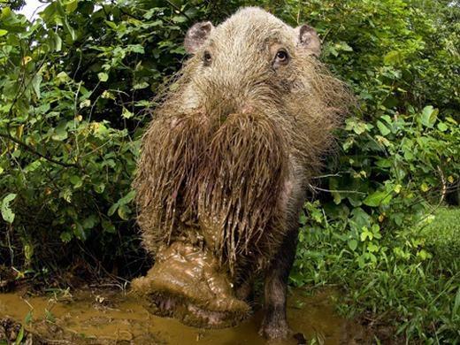 Còn đây là loài lợn râu sống ở Đông Nam Á, trong các khu rừng nhiệt đới, rừng ngập mặn… Khác với các loài lợn thông thường, chúng có bộ lông trên miệng khá dài.