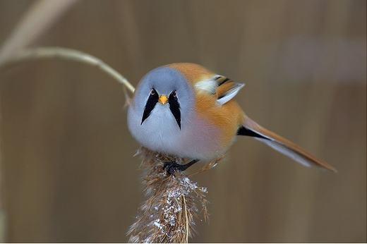 Còn đây là loài chim sẻ ngô râu – một loài sẻ bí ẩn – với vạt lông đen trước ngực đặc trưng. Bộ phận này cũng khiến nó trở nên oai nghiêm hơn.